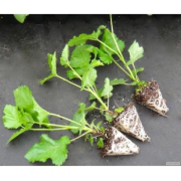 Выращивание ежевики семенами 77